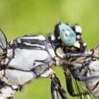 Fotograferen van libellen